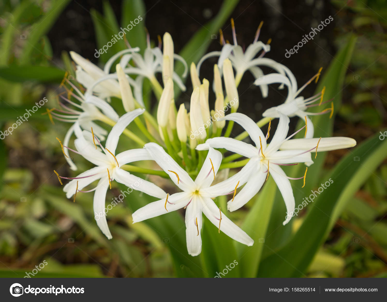 White Spider Lily Flower In Shade Of A Tree Stock Photo