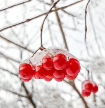 Viburnum branch with red berries in snow