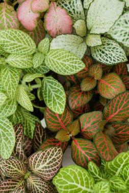 Mix of fittonia plants
