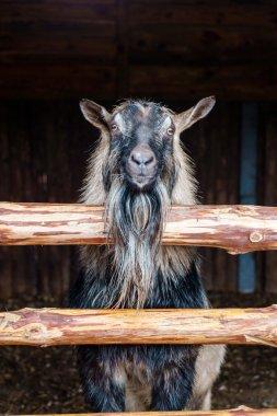 Cute goat in paddock
