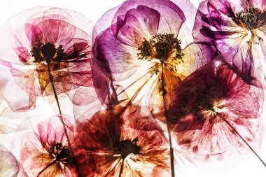 pressed poppy flowers