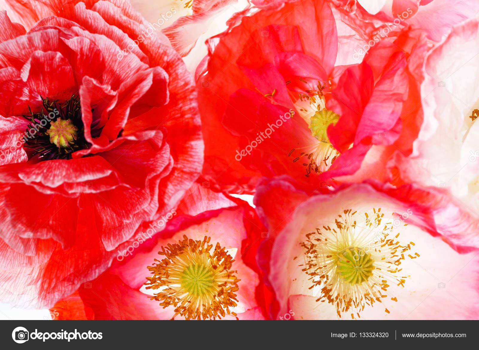 Beautiful Poppy Flowers Stock Photo Shebeko 133324320