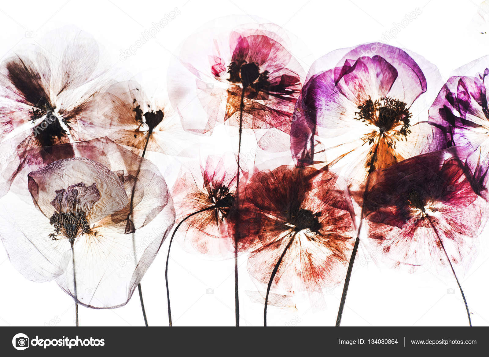 Dry Poppy Flowers Stock Photo Shebeko 134080864