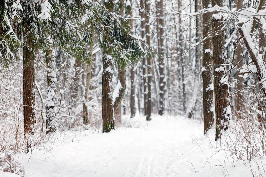 nice winter forest