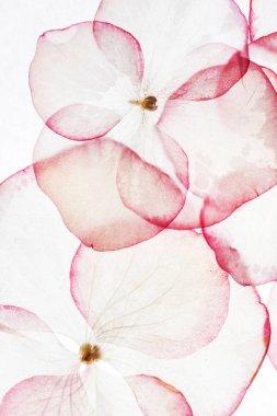 Tender hydrangea petals isolated stock vector
