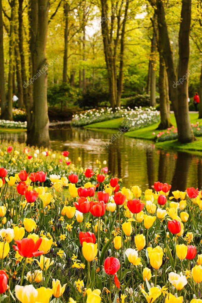 tulips spring garden