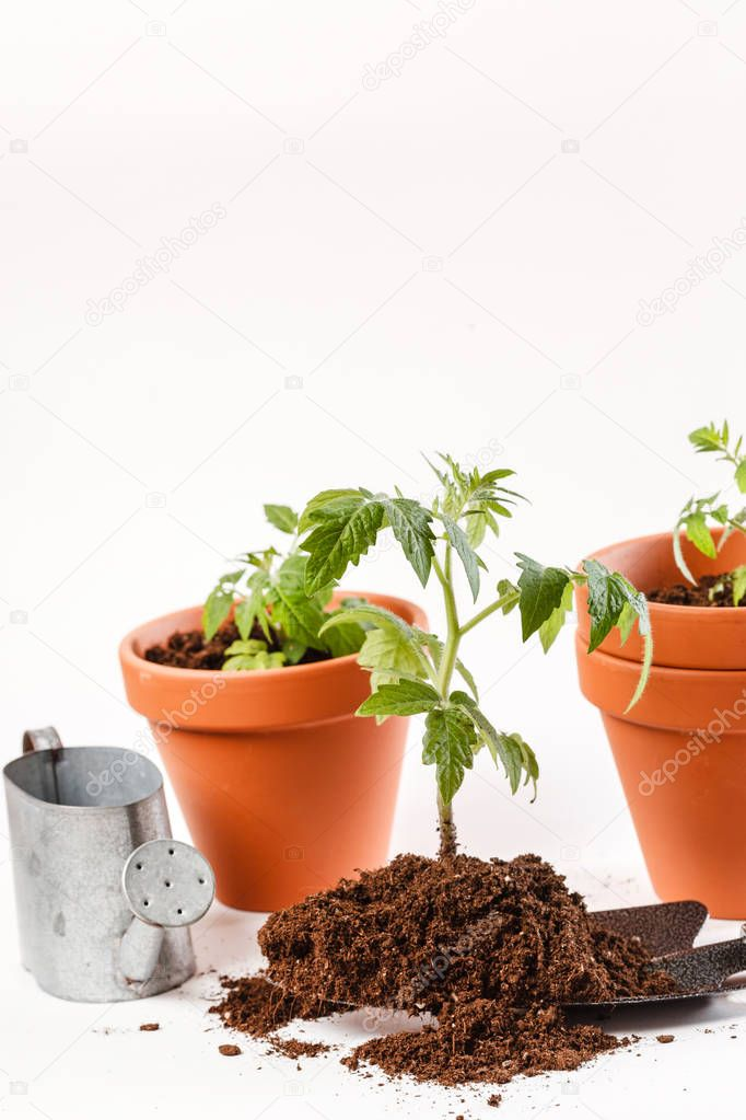 Young tomato seedling