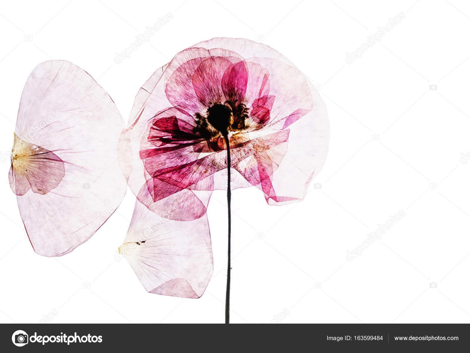 Dry poppy flower stock photo shebeko 163599484 dry poppy flower stock photo mightylinksfo Gallery