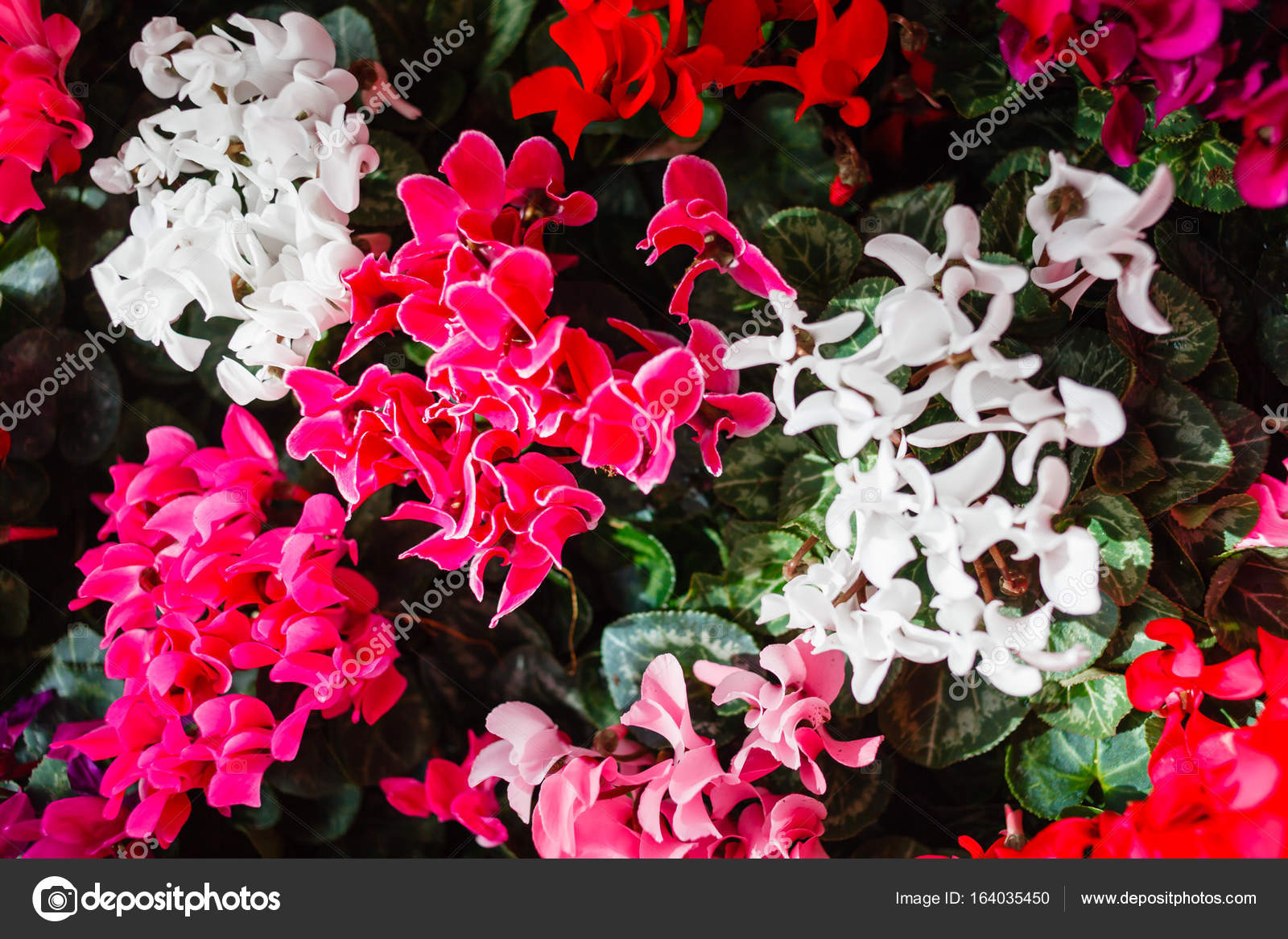 Цветы похожие на цикламен