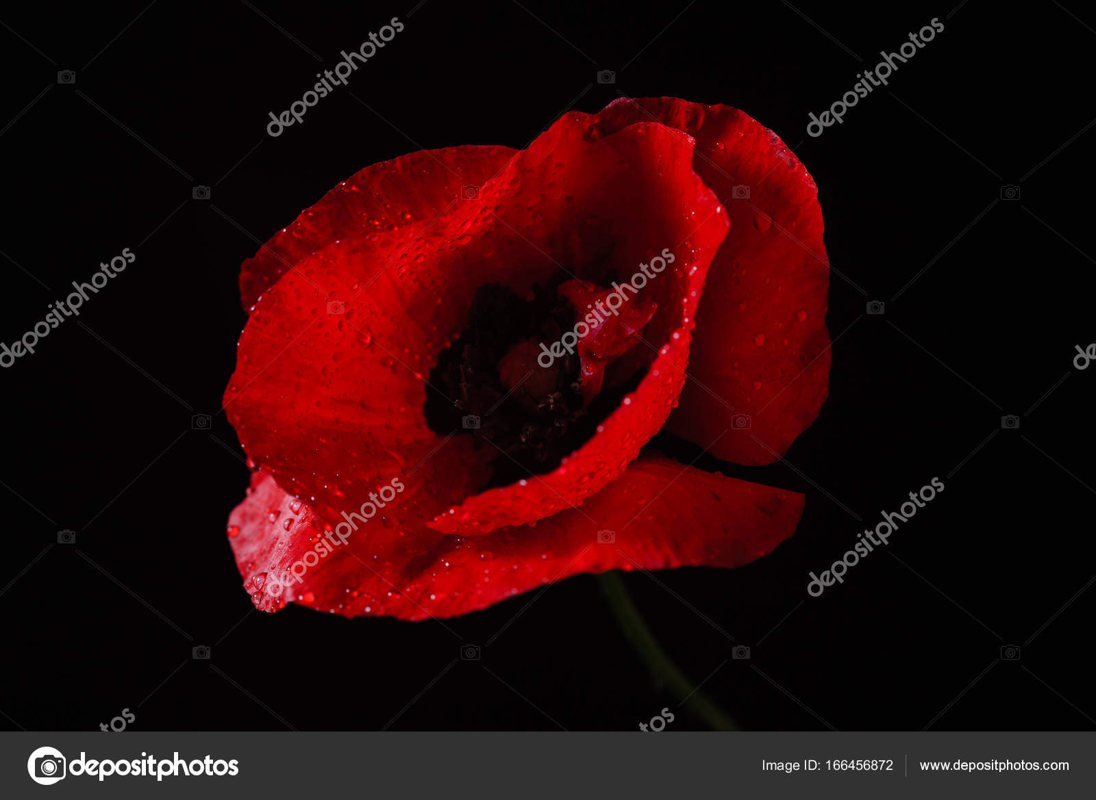 Beautiful Poppy Flower Stock Photo Shebeko 166456872