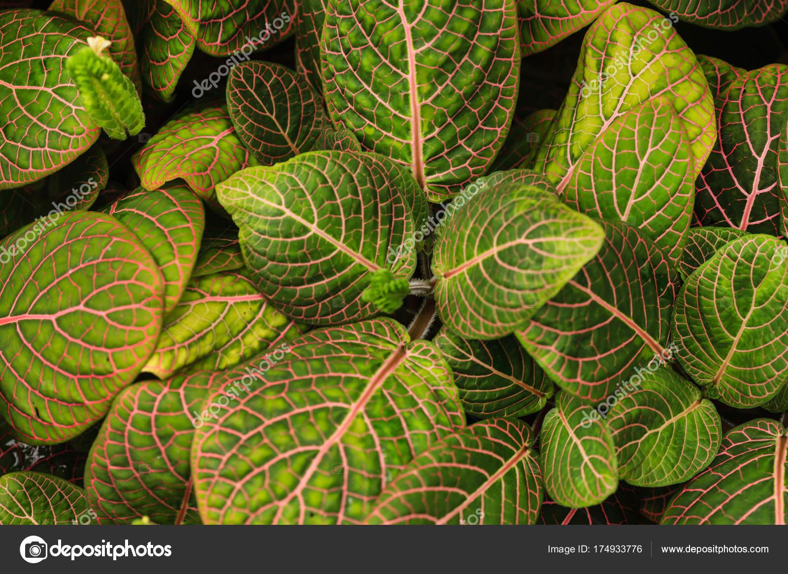 Gewaltig Grüne Pflanzen Galerie Von Fittonia Pflanze Hintergrund Grüne — Stockfoto