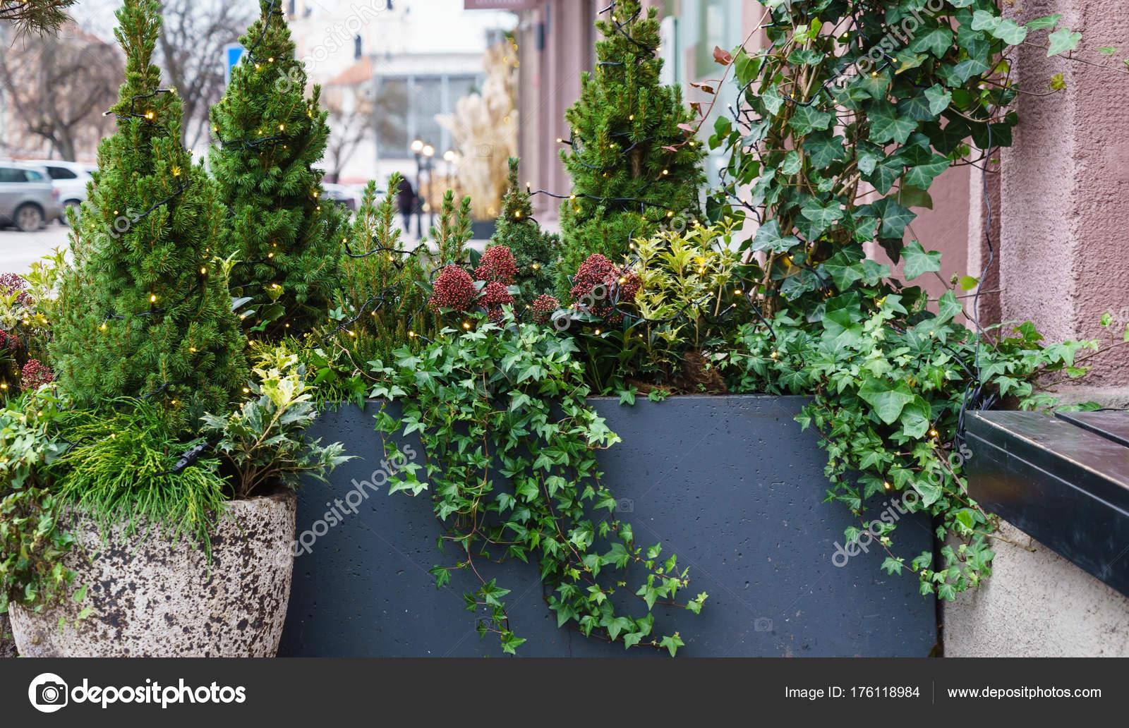 Winter Planten Voor Buiten.Groene Winter Planten Groeien Buiten Stockfoto C Shebeko