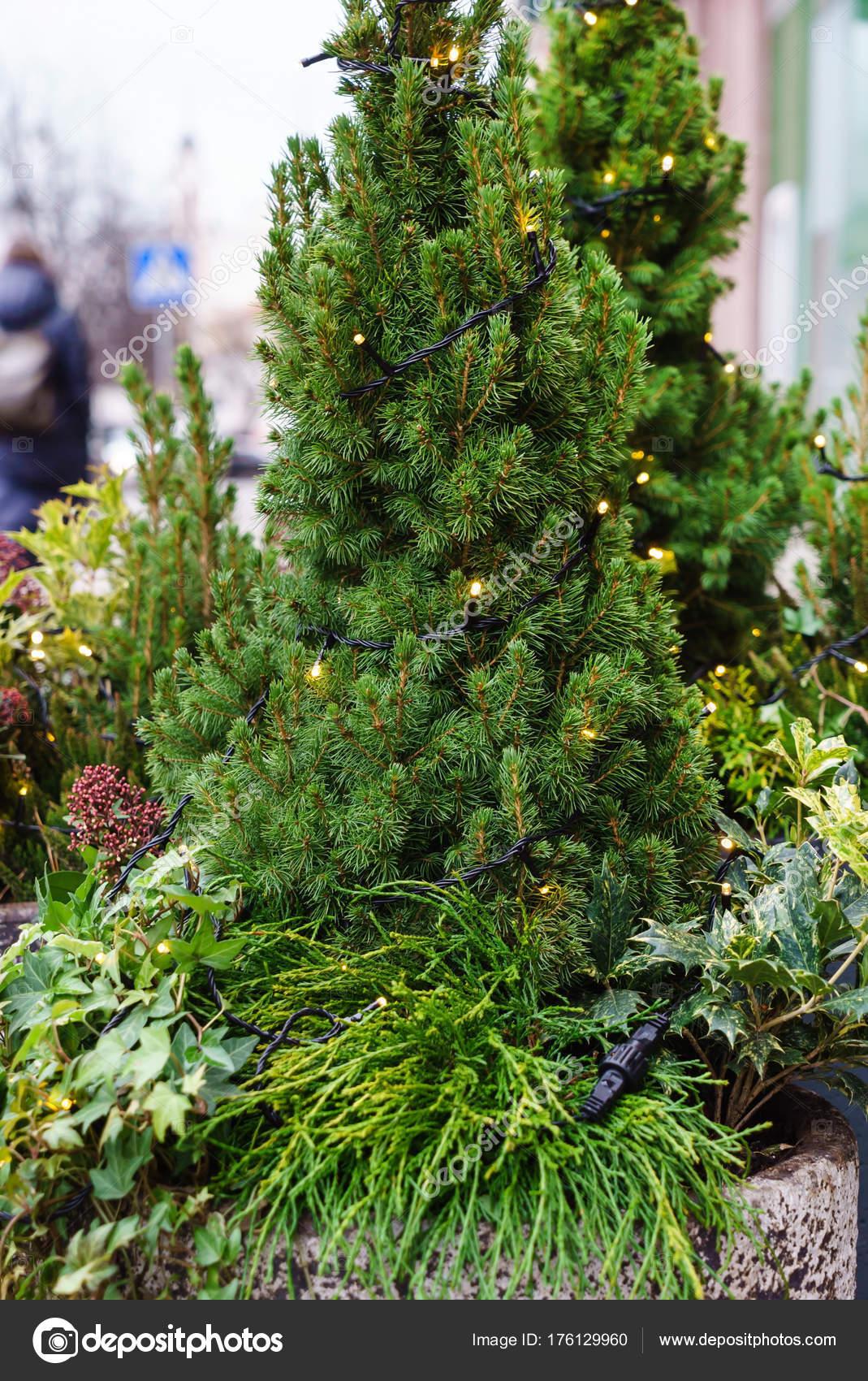 plante d extrieur hiver awesome azale extrieur hiver with plante d extrieur hiver stunning. Black Bedroom Furniture Sets. Home Design Ideas