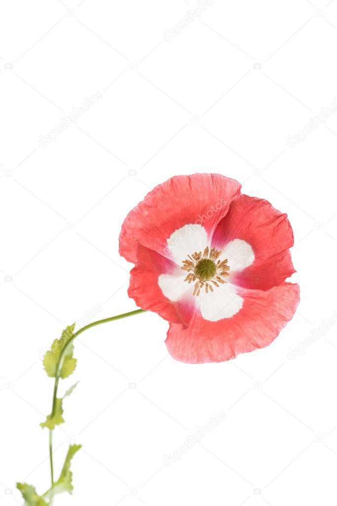 one poppy flower isolated, close up