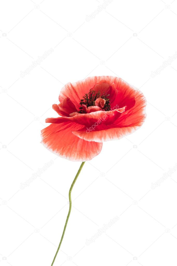 poppy flower isolated, close up