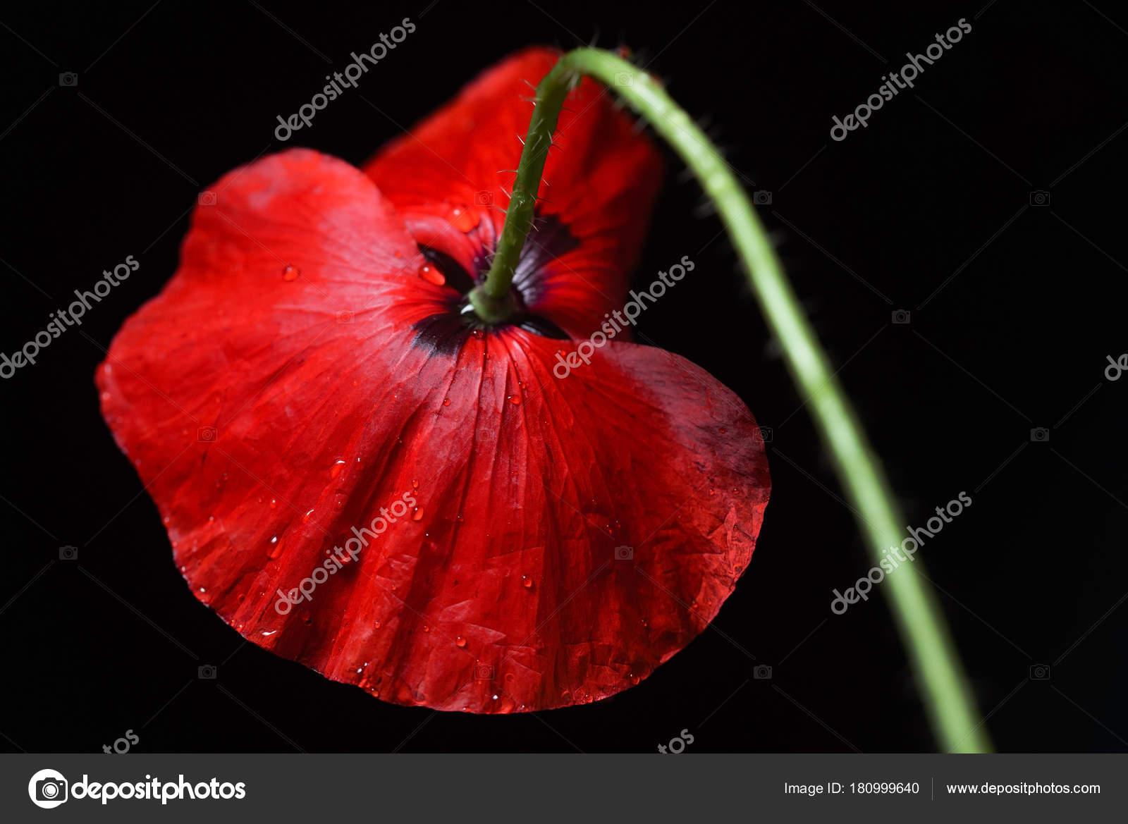 Poppy flower black background stock photo shebeko 180999640 poppy flower black background stock photo mightylinksfo