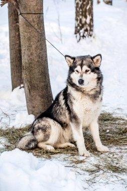 Husky dog  in winter forest