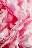 Fényképek rózsaszín pünkösdi rózsa virág közelről