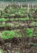 biodinamic vineyard in Sicily. Nature