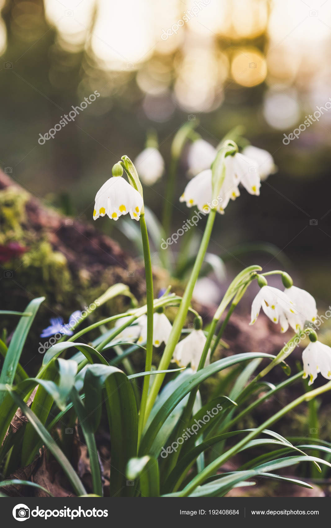 Closeup Early Spring White Flowers Stock Photo Fotovincek 192408684