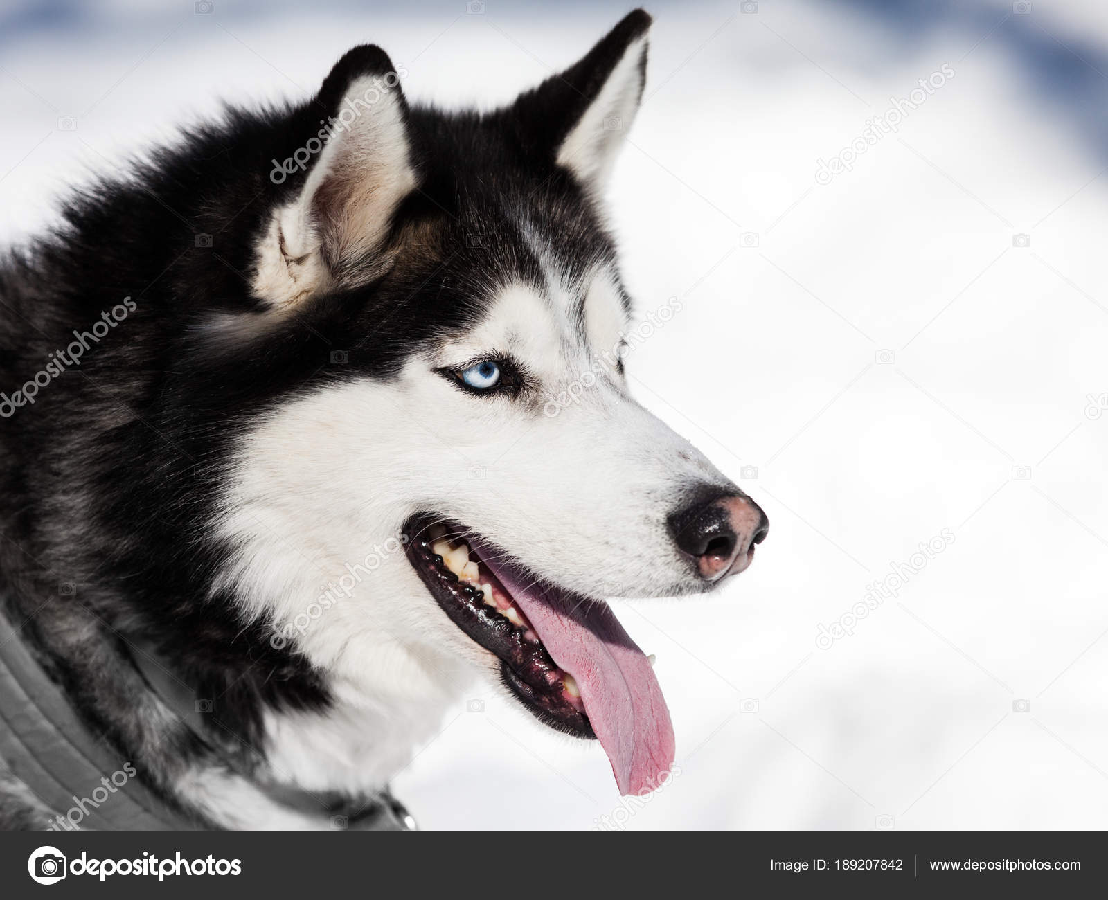 Cute Siberian Husky Dog Walking Outdoor Stock Photo C Ia 64