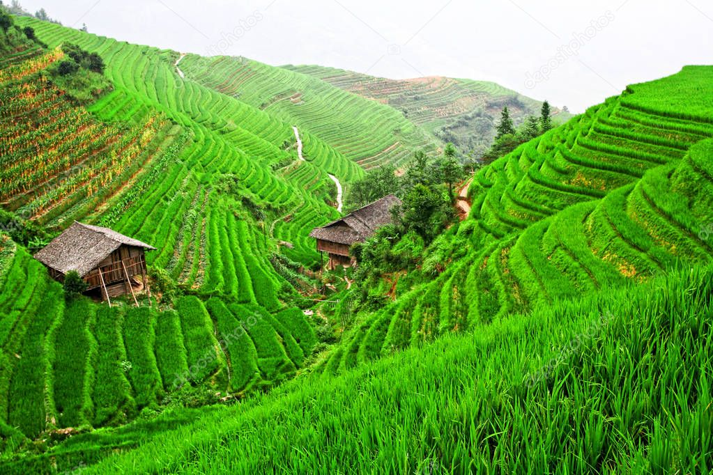 china rice field