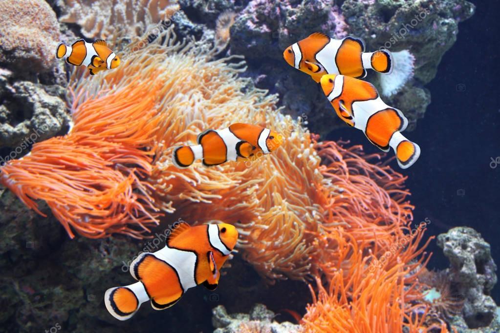 Anemone di mare e pesci pagliaccio foto stock frenta for Pesce pagliaccio foto