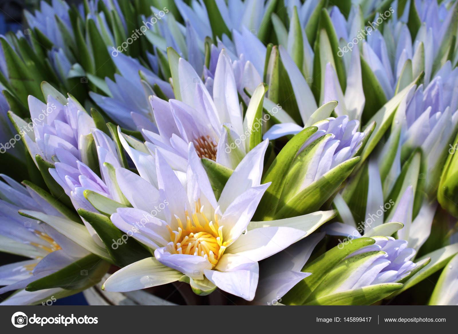 Bouquet Of Lotus Flowers On Sunny Background Stock Photo Frenta