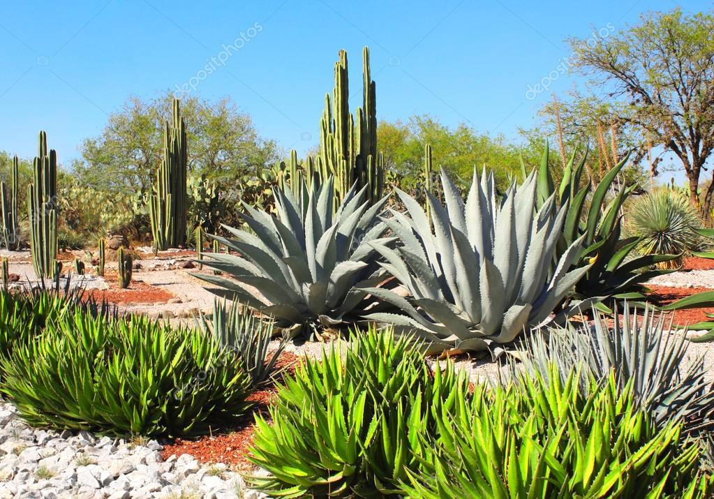 Garden of cacti, agaves and succulents,Tula de Allende, Mexico
