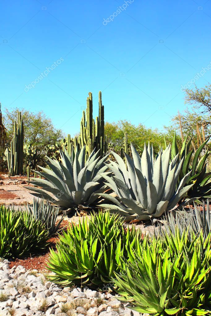 Garden of cacti, agaves and succulents,Tula de Allende, Mexico