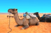 Photo Camels in Sahara desert, Morocco