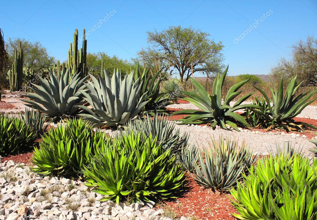 Garden of cacti, agaves and succulents, Tula de Allende, Mexico