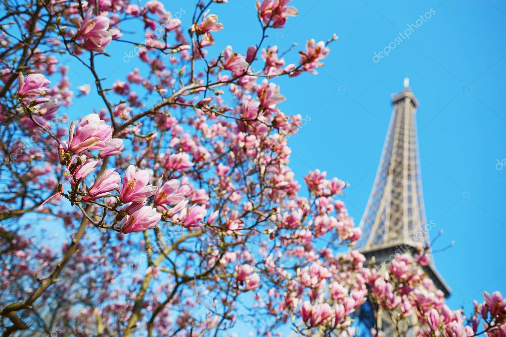 Pink magnolia flowers with Eiffel tower