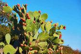 Fügekaktusz kaktusz (Opuntia ficus-indica, indiai füge opuntia) gyümölcsök