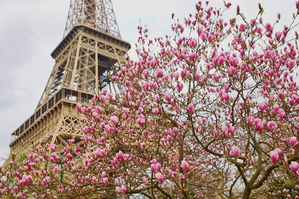 Eiffel tower with pink magnolia in full bloom on a spring day in Paris, France