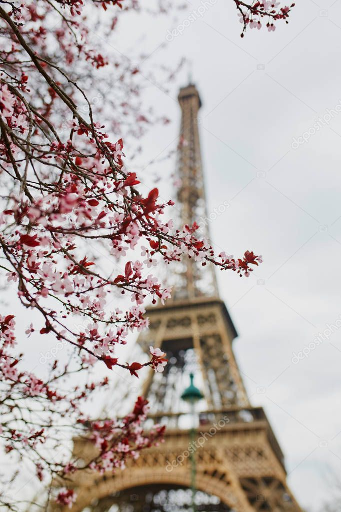 Cherry blossom season in Paris, France. Branch with first pink flowers in the beginning of March and Eiffel tower in the background