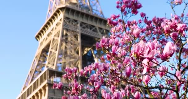 Beautiful pink magnolia in full bloom on a spring day near the Eiffel tower in Paris, France