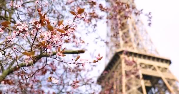 Gyönyörű rózsaszín cseresznyevirág fa teljes virágban egy tavaszi napon, közel az Eiffel toronyhoz Párizsban, Franciaországban