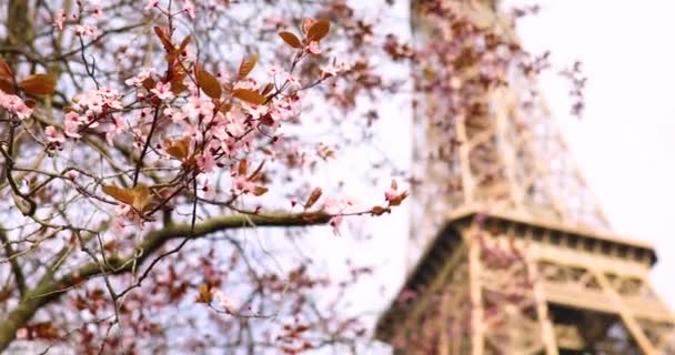 Beautiful pink cherry blossom tree in full bloom on a spring day near the Eiffel tower in Paris, France