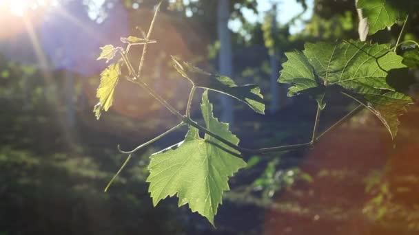 Weintrauben im Weinberg in der Toskana, Italien. Weinbau auf Weinreben in einem toskanischen Weinberg. Italienisches Land Schöne Bauernhöfe und Weinberge. Weinberge Farmland. Landwirtschaft Trauben auf Weinberg Italien