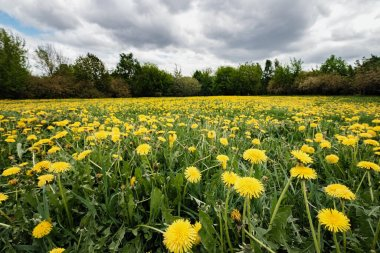 Apples and dandelions in Kolomenskoye Park in Moscow. Meadow with blooming yellow dandelions in cloudy day