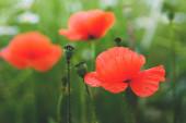vad mák virág mező