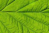 Fotografie  green leaf texture