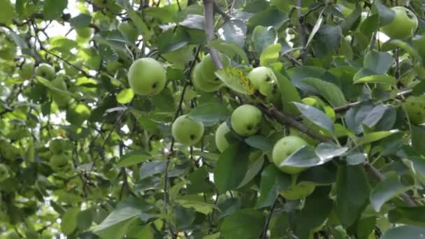 Apple trees in an orchard with ripe apples.