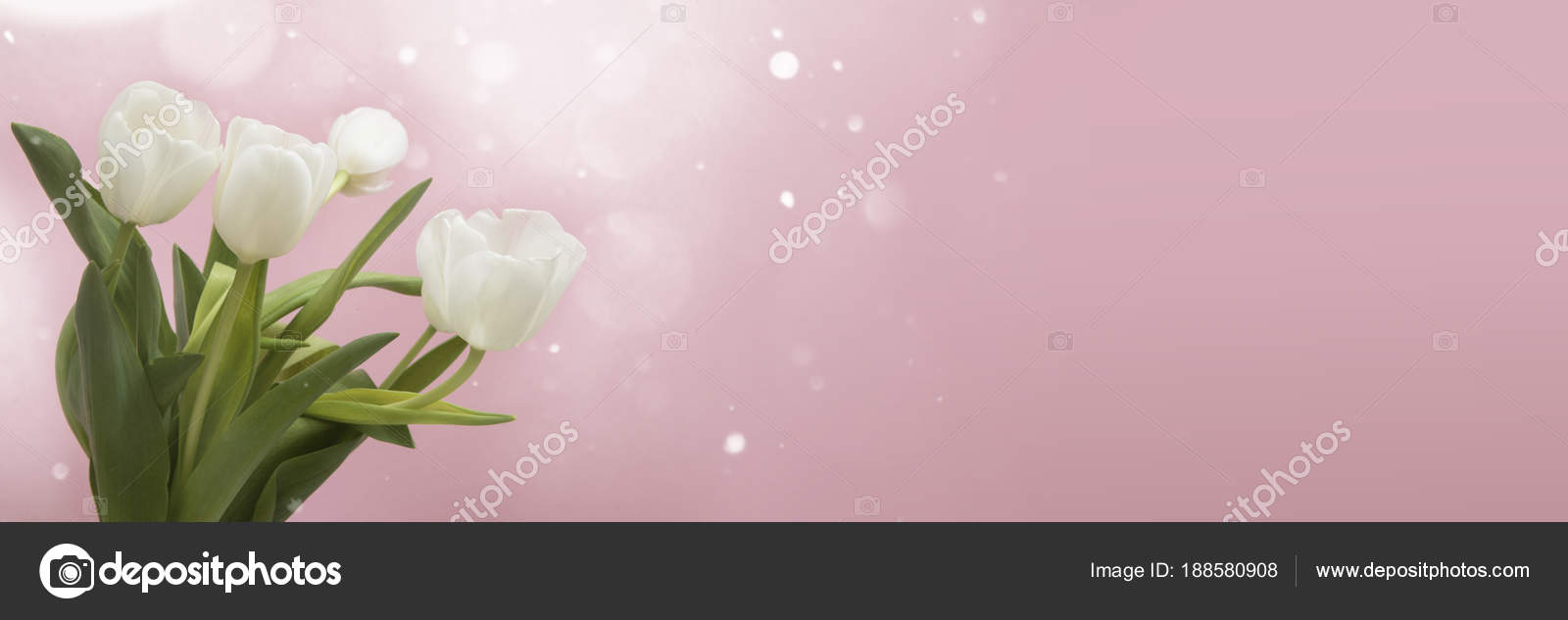 Tulip Flowers Header Stock Photo C Djemphoto 188580908