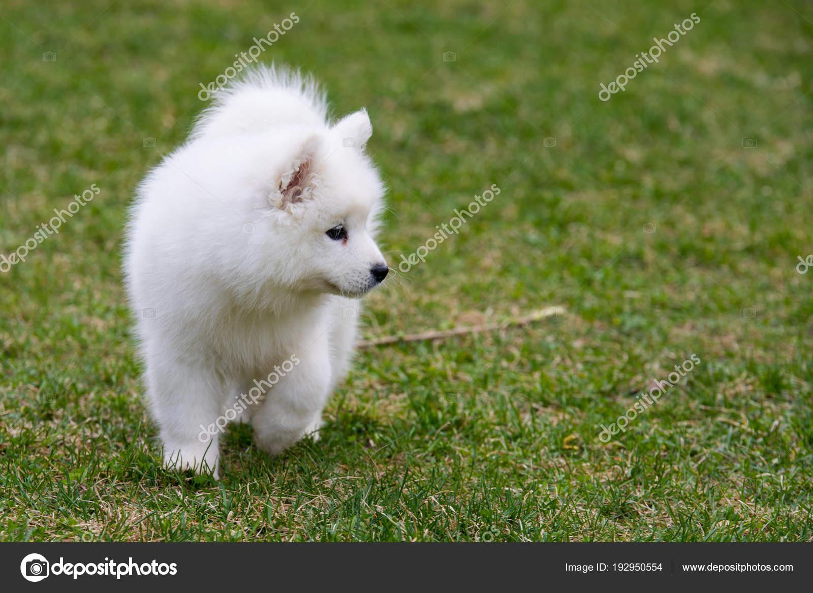 White Samoyed Puppy Dog Stock Photo C Djemphoto 192950554