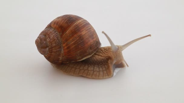 Garden snail on white