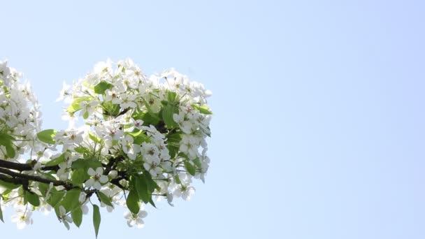 cseresznye virágzás tavasszal