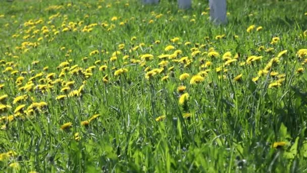 Zöld fű, pitypang