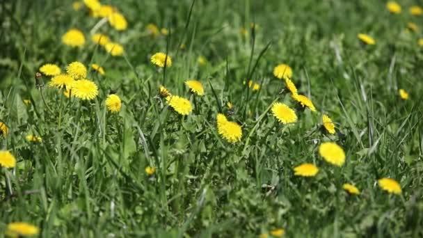 Zelená tráva s pampelišky
